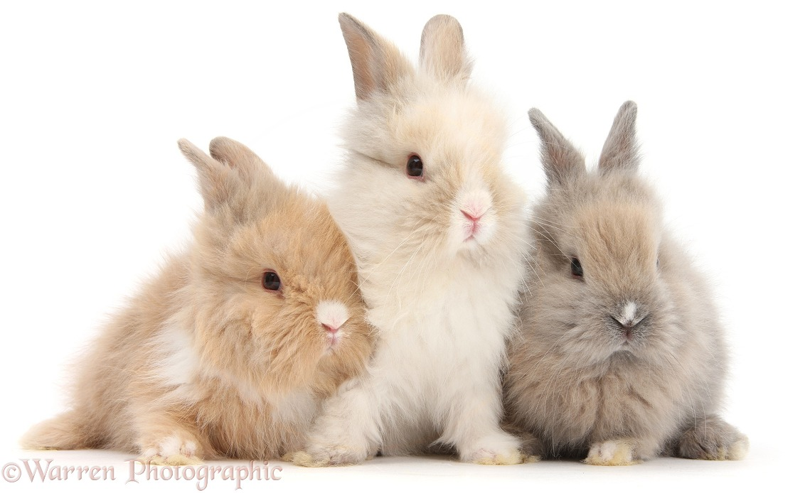 Three cute baby Lionhead bunnies in a row, white background