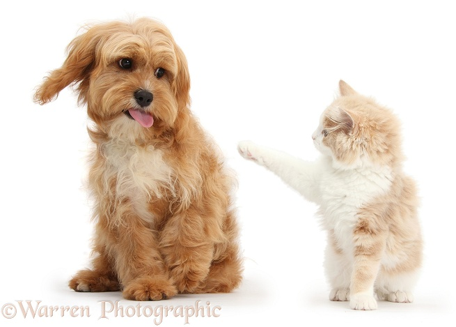 Ginger-and-white Siberian kitten, 16 weeks old, pointing at Cavapoo, 5 months old, who sticks her tongue out, white background