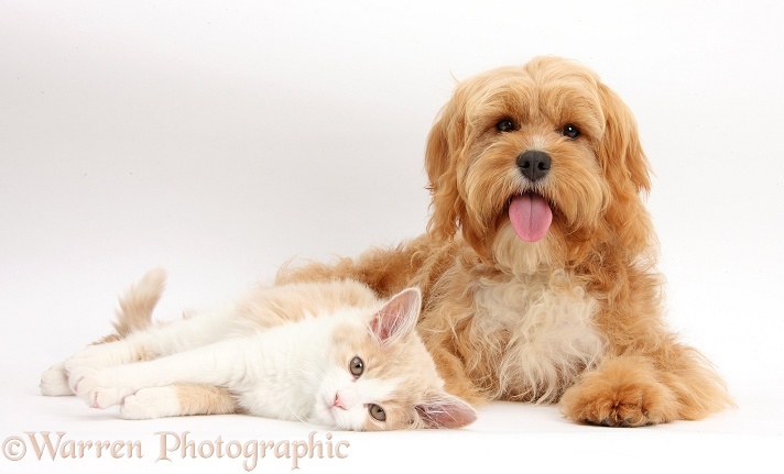 Ginger-and-white Siberian kitten, 16 weeks old, with Cavapoo, 5 months old, white background