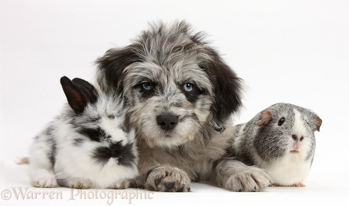 Blue merle Cadoodle puppy with silver-and-white Guinea pig and black-and-white baby rabbit, white background