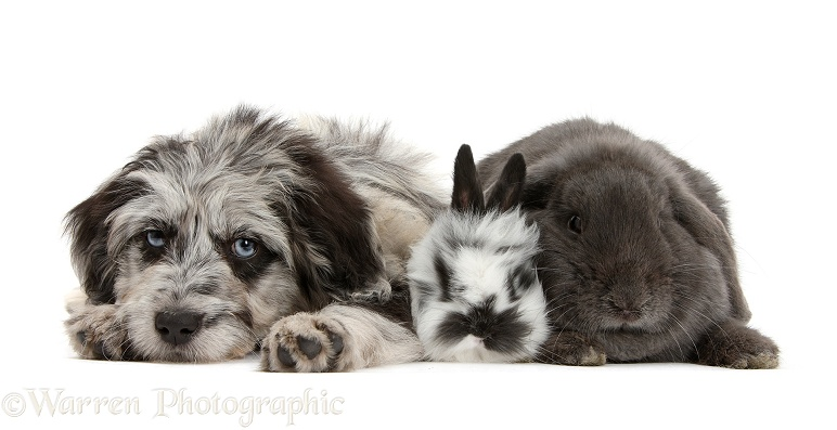 Blue merle Cadoodle puppy with blue Lop rabbit and black-and-white baby rabbit, white background