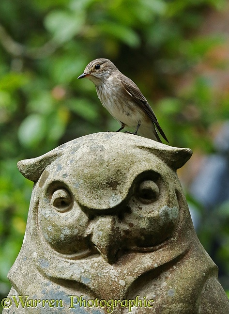 Spotted Flycatcher (Muscicapa striata) perched on a stone owl