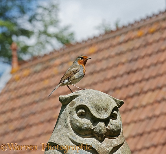 European Robin (Erithacus rubecula) perched on a stone owl