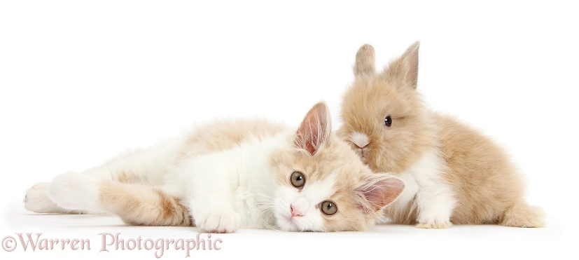 Ginger-and-white Siberian kitten, 16 weeks old, with baby Lionhead rabbit, white background