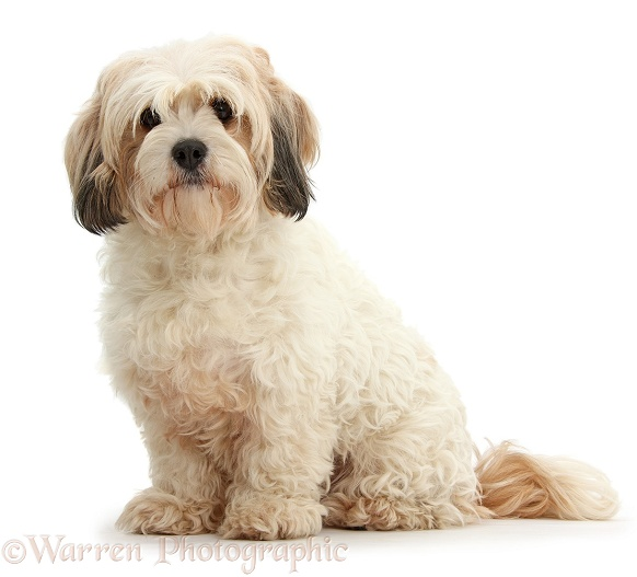Cavachon bitch, white background
