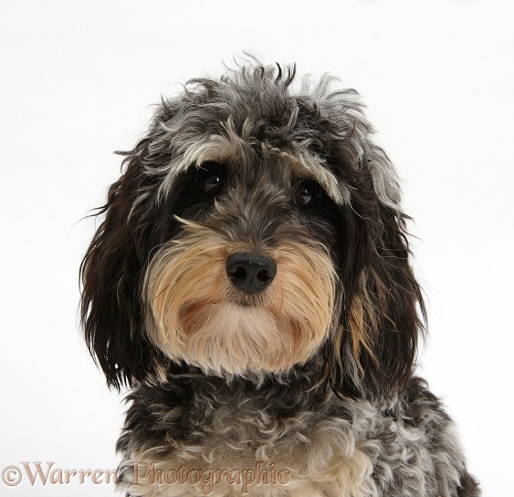 Cute tricolour merle Daxie-doodle dog, Dougal, white background
