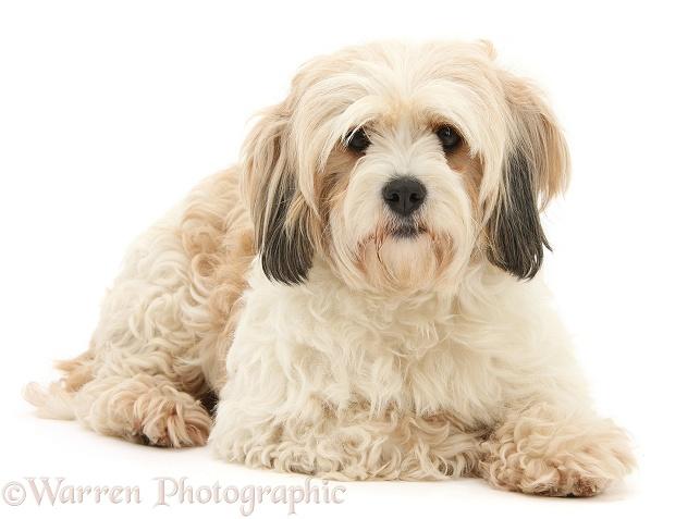 Designer Dog Breeds Uk