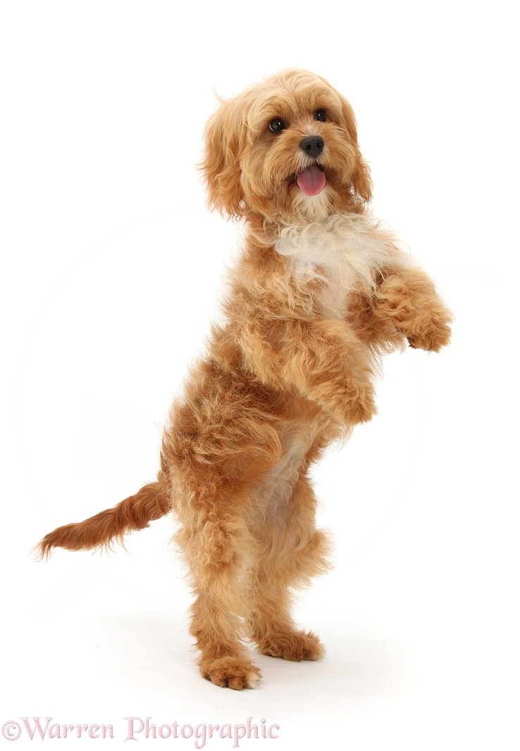 Cavapoo bitch, 5 months old, standing on hind legs, white background