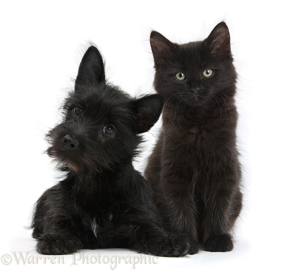 Black Terrier-cross puppy, Maisy, 3 months old, with a black Maine Coon kitten, white background