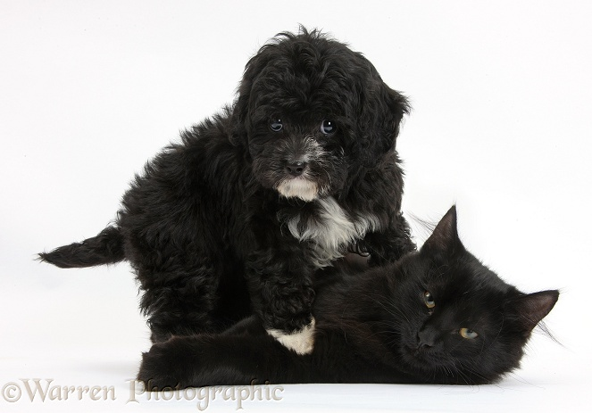 Black-and-white Cavapoo pup and black Maine Coon kitten, white background