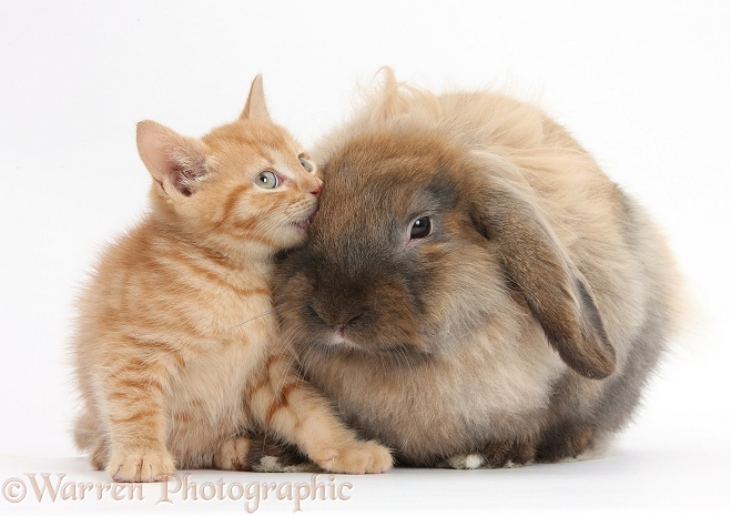 Ginger kitten and Lionhead-Lop rabbit, Dibdab, white background