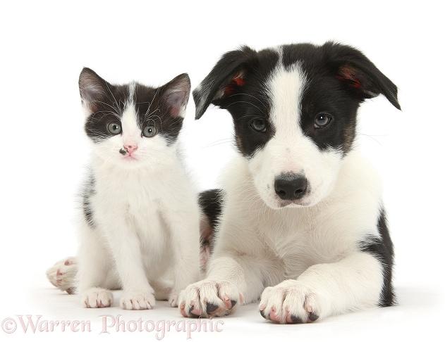 Black-and-white Border Collie pup and kitten, white background