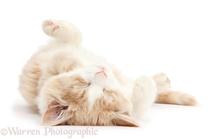 Ginger-and-white Siberian kitten, 16 weeks old, sleeping upside down, white background