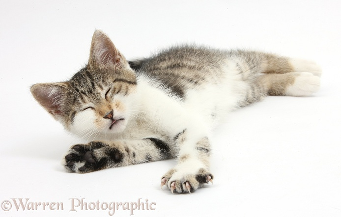 Sleepy tabby-and-white kitten lying stretched out, white background