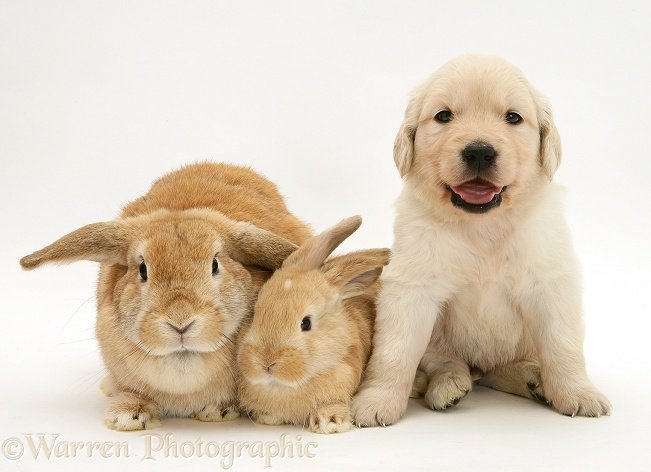 pets rabbits and golden retriever puppy photo   wp40356