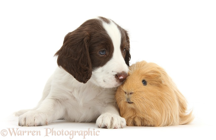 Working English Springer Spaniel puppy, 6 weeks old, sitting with Guinea pig, white background