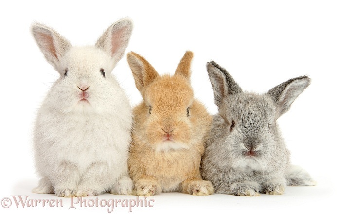 Three cute baby Lop rabbits, white background