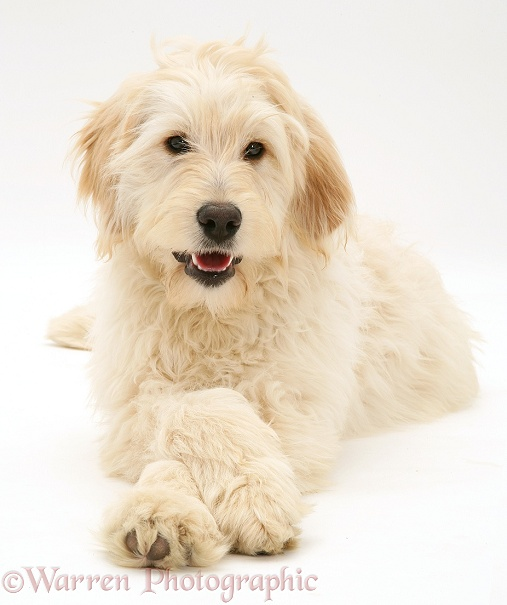 Labradoodle with paws crossed, white background