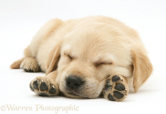 Sleepy Retriever-cross pup, white background