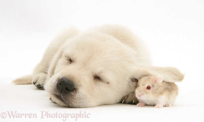 Sleepy Retriever-cross pup with hamster under its ear, white background