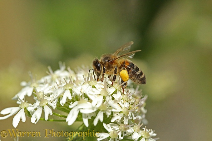 Honey Bee (Apis mellifera) worker on Hogweed flowers