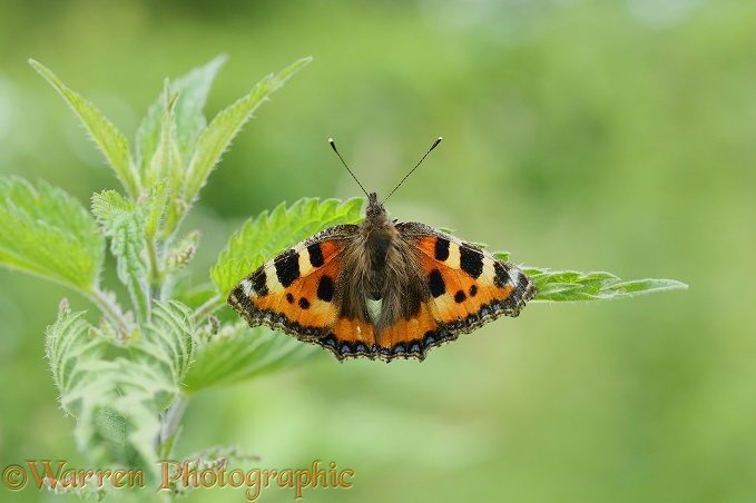 Small Tortoiseshell Butterfly (Aglais urticae) laying eggs on nettle leaf