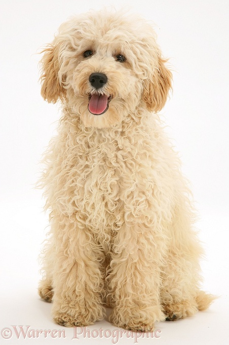 Cream Miniature Poodle, Rodney, sitting, white background