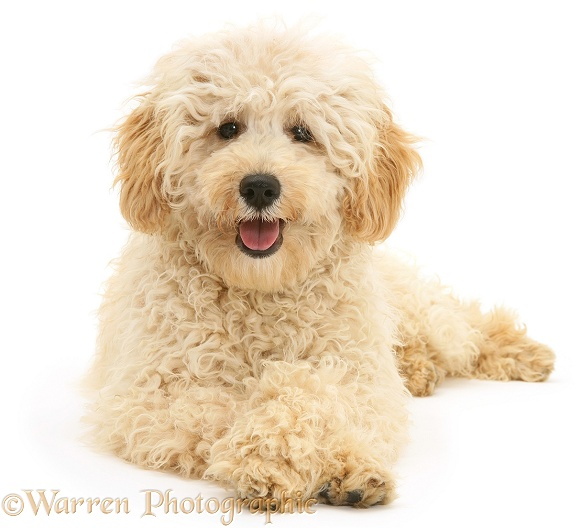 Cream Miniature Poodle, Rodney, with crossed paws, white background