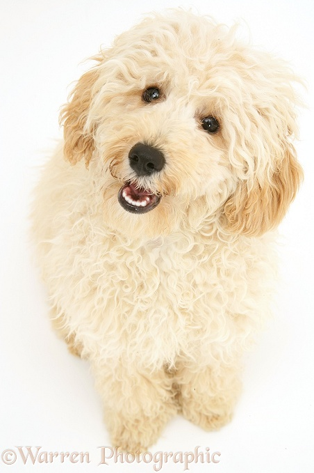 Cream Miniature Poodle, Rodney, sitting looking up, white background