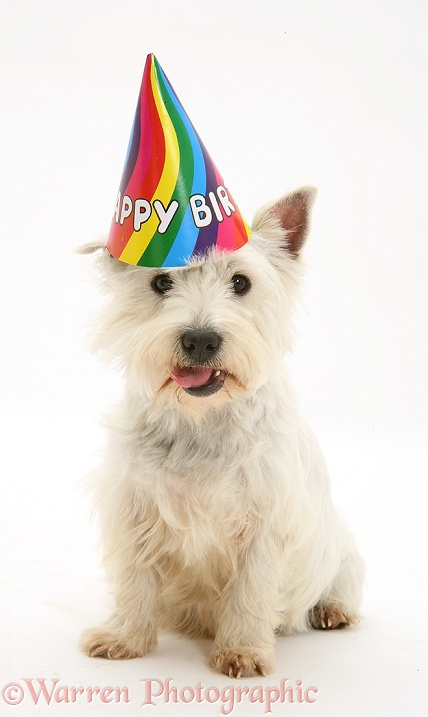 West Highland White Terrier, wearing a Happy Birthday hat, white background
