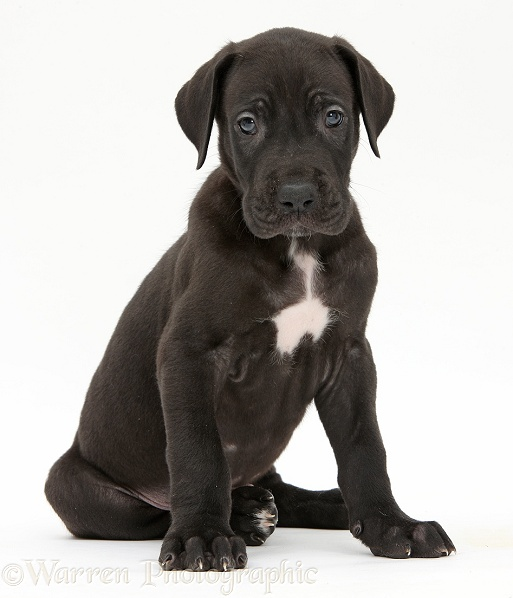 Dog: Black Great Dane puppy sitting photo WP40426