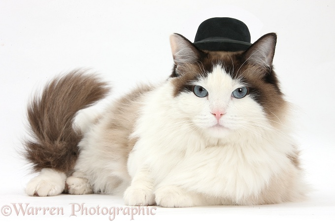 Ragdoll male cat, Loxley, lying with head up, wearing a gangster hat, white background