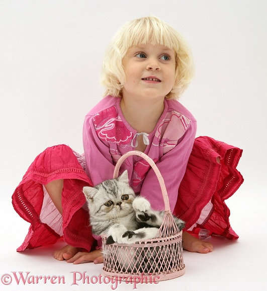 Siena with silver Exotic cat in a basket, white background