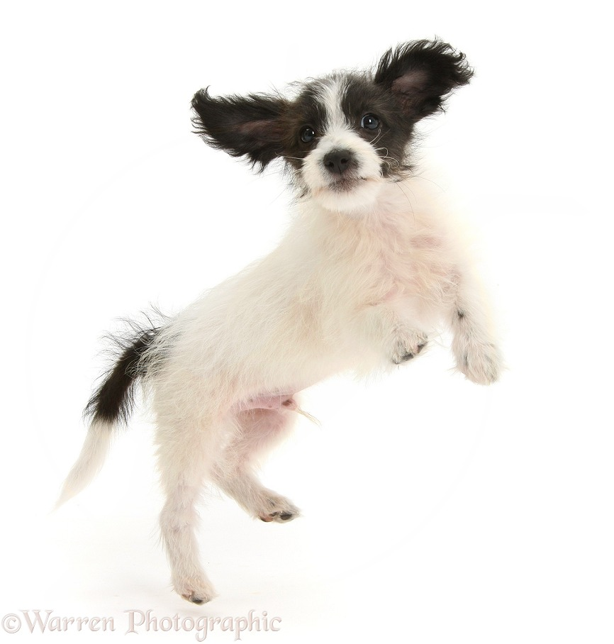 Black-and-white Jack-a-poo dog pup, 8 weeks old, jumping up, white background