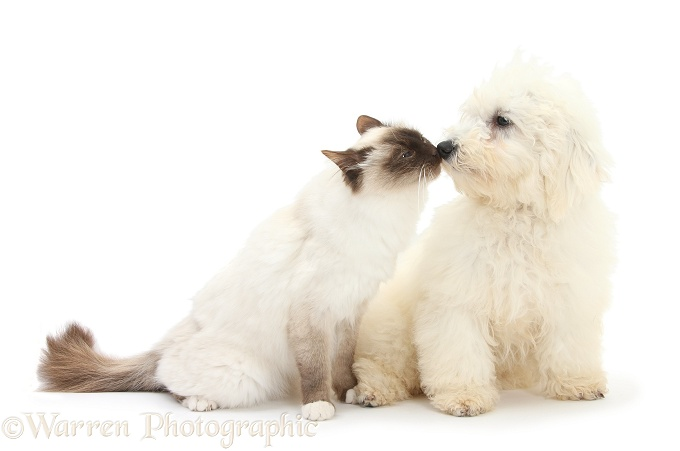 Bichon Frise dog, Louie, 5 months old, nose-to-nose with a Birman cat, white background