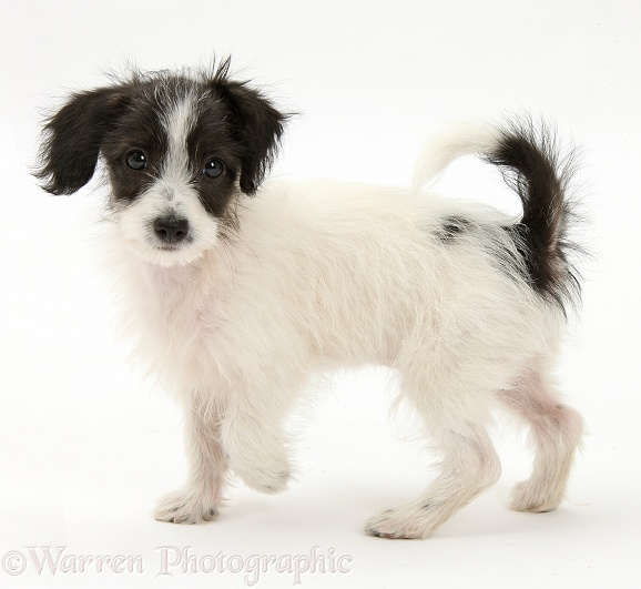 Black-and-white Jack-a-poo dog pup, 8 weeks old, walking across, white background