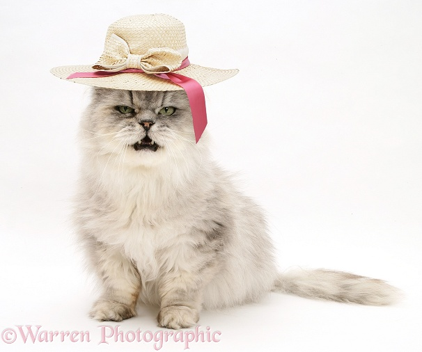 Silver tabby chinchilla Persian male cat, Cosmos, wearing a straw hat, white background