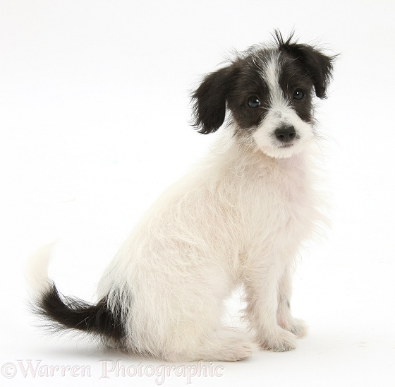 Black-and-white Jack-a-poo dog pup, 8 weeks old, sitting, white background
