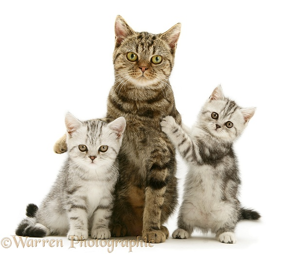 Brown tabby cat with silver tabby kittens, white background