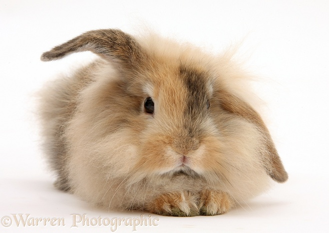 Fluffy brown bunny, white background