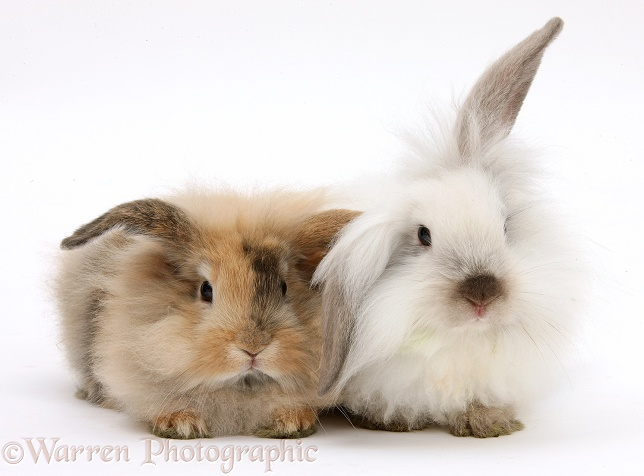 Two fluffy bunnies, white background