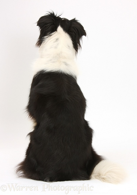 Dog Black And White Border Collie Back View Photo Wp40455