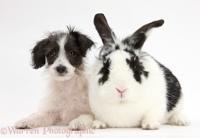 Black-and-white Jack-a-poo dog pup, 8 weeks old, and rabbit, Bandit, white background
