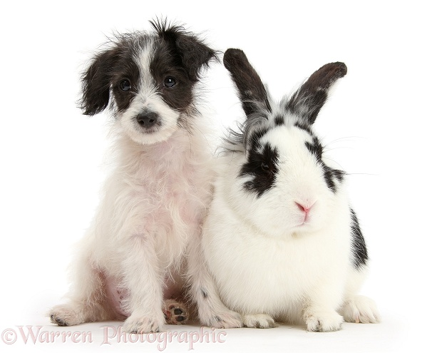 Black-and-white Jack-a-poo dog pup, 8 weeks old, and rabbit, Bandit