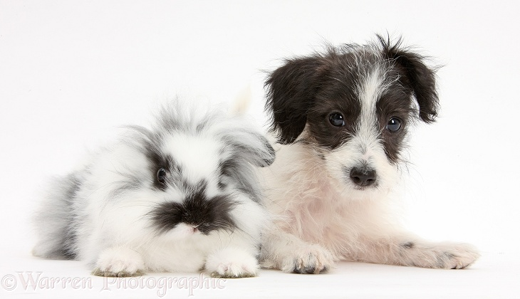 Black-and-white Jack-a-poo dog pup, 8 weeks old, and fluffy rabbit, white background