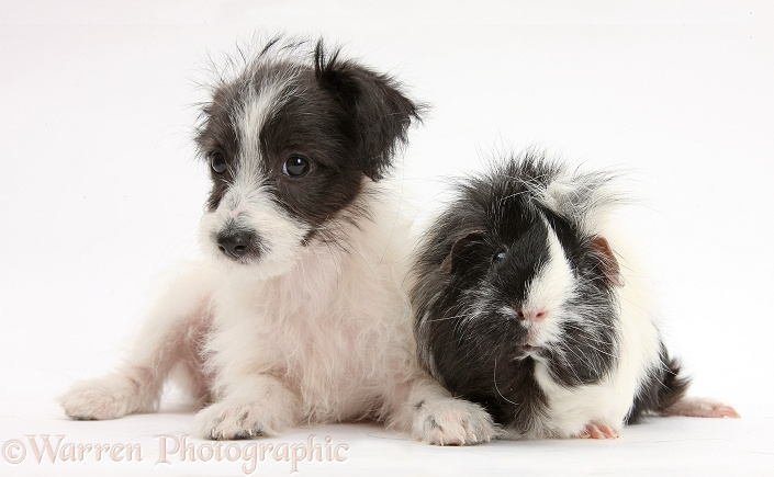 Black-and-white Jack-a-poo dog pup, 8 weeks old, and Guinea pig, white background