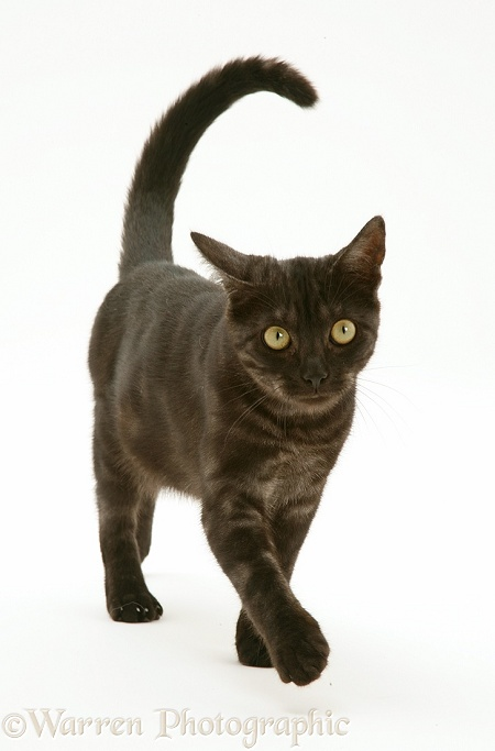 White Tail Black Cat