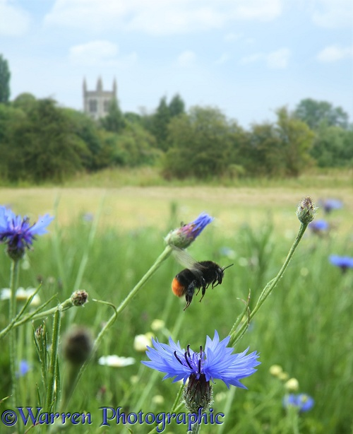 A red-tailed bumblebee takes off from Cornflower in Bishop's Meadow, Farnham