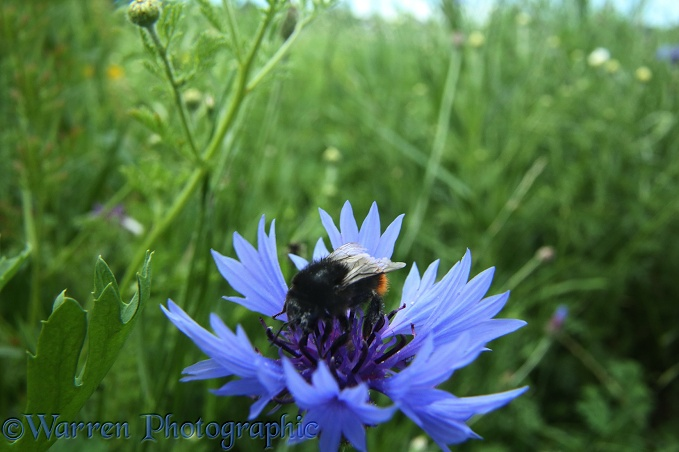 A red-tailed bumblebee visits a Cornflower in Bishop's Meadow, Farnham