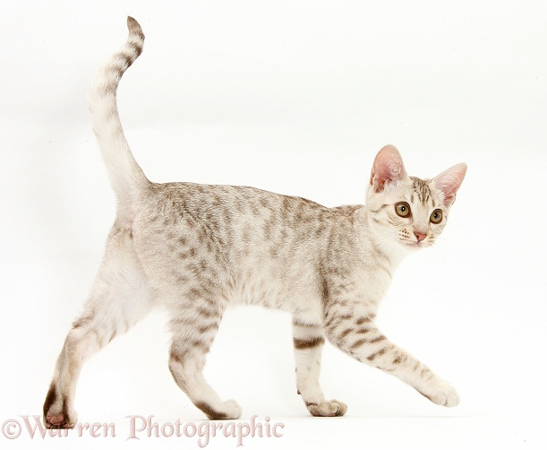 Ocicat kitten walking across, white background